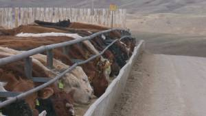 New feed-testing tools aim to help cattle welfare in Alberta