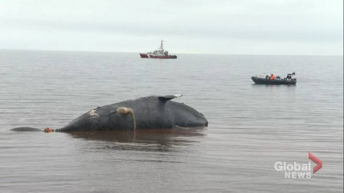Efforts continue to locate three right whales entangled in fishing gear in Gulf of St. Lawrence
