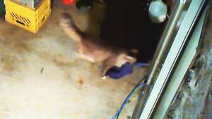 Camera catches sneaky cat stealing clothes from North Delta neighbours