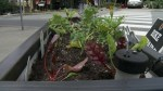 New urban street gardens aim to feed homeless