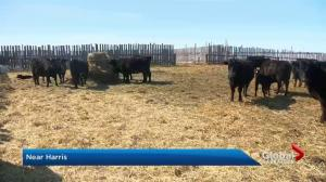 Cold snap creating calving concerns for ranchers