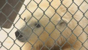 Meet the newest editions to Winnipeg zoo's polar bear community