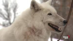 Edmonton Valley Zoo: Arctic wolves