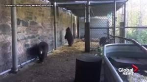 Bear cubs found in bathroom in Banff explore their enclosure at Ontario rehab facility
