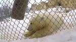 Winnipeg zoo's Journey to Churchill introduces two new bear cubs