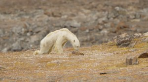 Heartbreaking video shows starving polar bear on Baffin Island