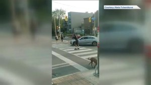 Video shows dancing 'cop' in Toronto intersection before crash involving taxi