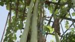 Burnaby gardener shows off massive zucchinis