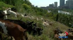 From the country to the city: Goats invade a park in Calgary's Crescent Heights to take on weeds
