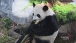Calgary Zoo members get special sneak peek of new panda family