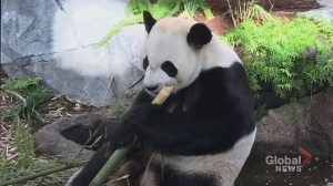 Calgary Zoo members get special sneak peek of new panda family