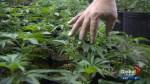Medical marijuana component CBD may worsen glaucoma