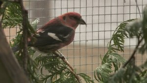 B.C. wildfires affecting bird migration