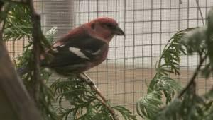 B.C. wildfires affecting bird migration