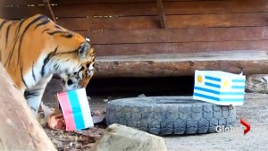 Oracle tiger lends support to Russia ahead of Uruguay match