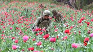 Mexico declares war on poppies to combat cartel opioid trade