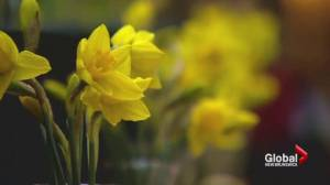Daffodil Month spoiled for Canadian Cancer Society in Nova Scotia