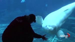 Qila the beluga whale dies at Vancouver Aquarium