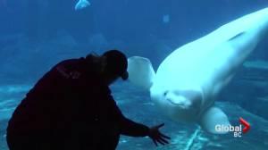 Qila the beluga whale dies at Vancouver Aquarium