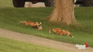 Video captures four young foxes playing near Rice Lake