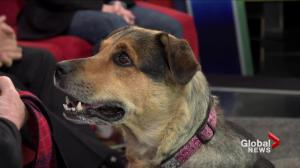 Adopt a pet: Venus the senior shepherd cross