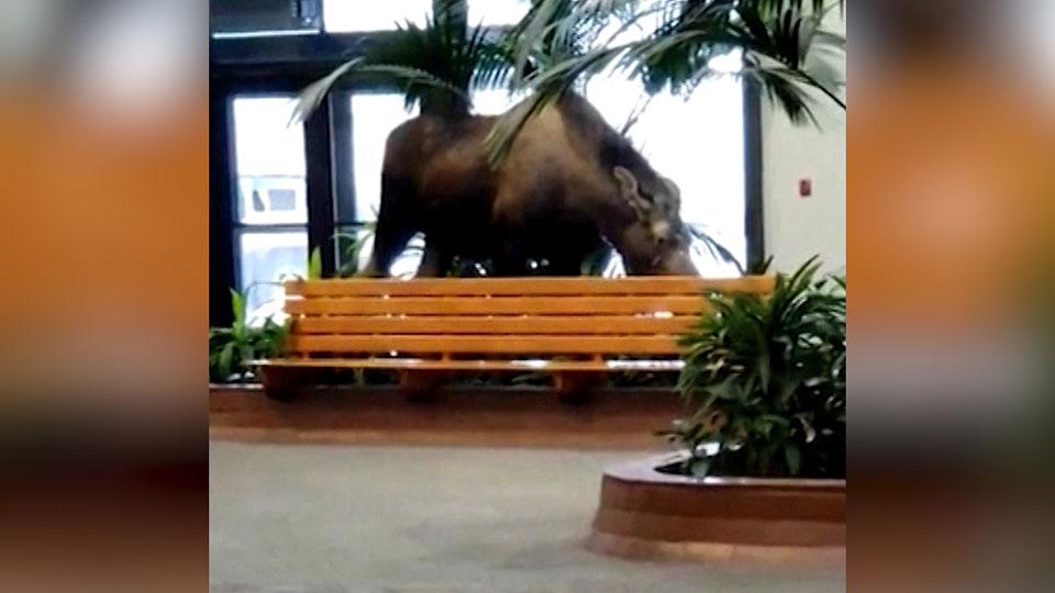 Moose wanders into Alaska hospital building