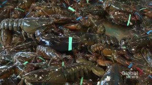 Lobster industry headed for record year