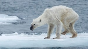Startling image of emaciated polar bear sparks climate change concerns