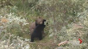 Bears eat, play fight during their rehabilitation at Cochrane Ecological Institute (01:10)