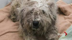 SPCA makes major puppy mill seizure in Langley