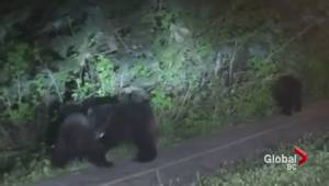 Caught on camera: Adorable bear cubs play on Port Moody sidewalk
