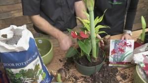GardenWorks – Amaryllis