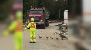 Vancouver city worker helps a gaggle of geese cross the road