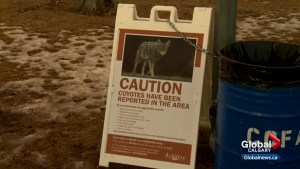 2 'brazen' attacks on humans prompt coyote warning from City of Airdrie