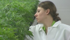 Some unanswered questions on BC government's recreational pot plan