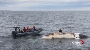Ottawa announces four new measures with the goal of protecting right whales