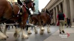 Clydesdale horses visit downtown Toronto