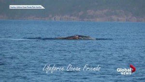 Humpback whale plays with log near Vancouver Island