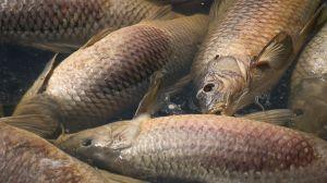 Hundreds of dead fish surfacing at Wascana Lake in Regina