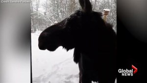 Moose shows up at local Albertan's front door following snowstorm