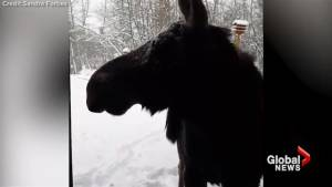 Moose shows up at local Albertan's front door following snowstorm (00:34)