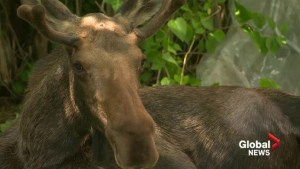 Apple-stealing moose on the loose in northeast Calgary