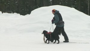 Dogs train in Revelstoke to rescue avalanche victims