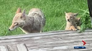 Coyote raises pups in north Edmonton backyard