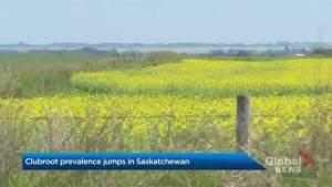 Clubroot prevalence jumps in Saskatchewan