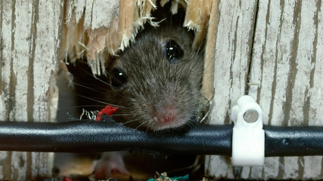 What you need to know about mice in your home and how to get rid what you need to know about mice in your home and how to get rid of them ccuart Gallery