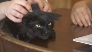 Aldergrove cat recovering after being shot with pellet gun