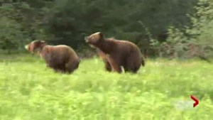 Hunting bears vs. viewing bears
