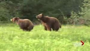 Hunting bears vs. viewing bears