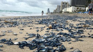 Thousands of 'blue sailor' jellyfish wash up on Florida beach